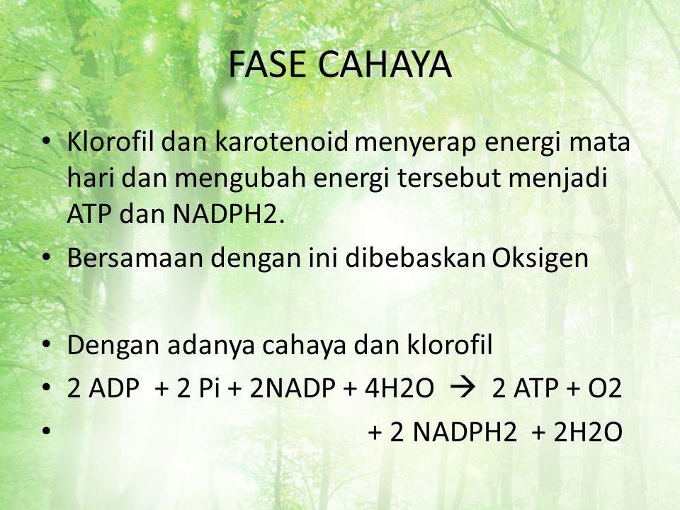 FASE CAHAYA Klorofil dan karotenoid menyerap energi mata hari dan mengubah energi tersebut menjadi ATP dan NADPH2. Bersamaan dengan ini dibebaskan Oks