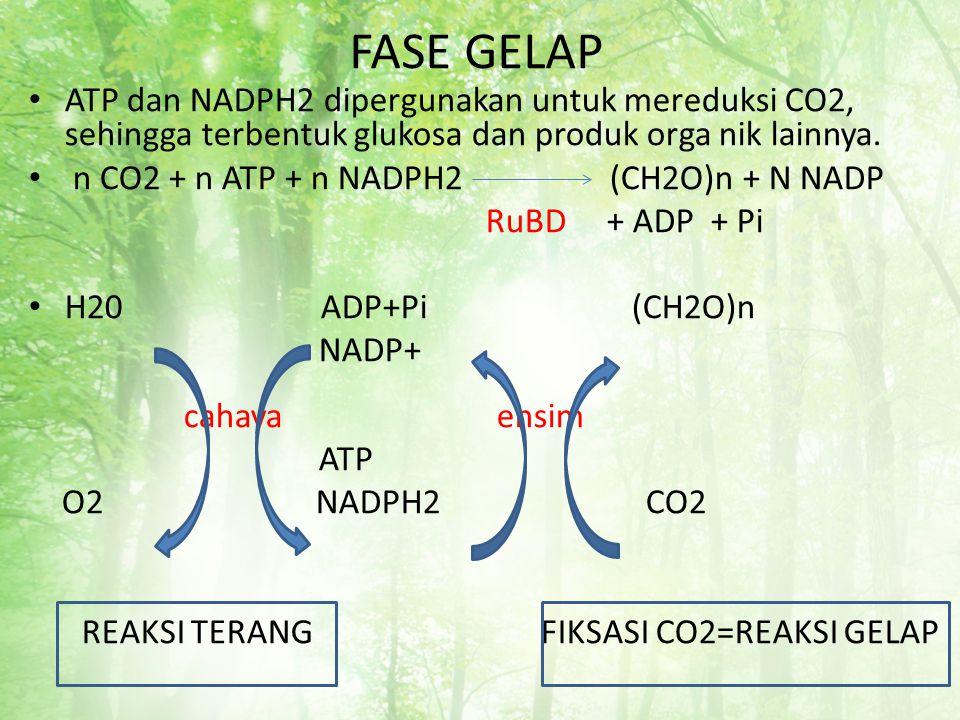 FASE GELAP ATP dan NADPH2 dipergunakan untuk mereduksi CO2, sehingga terbentuk glukosa dan produk orga nik lainnya. n CO2 + n ATP + n NADPH2 (CH2O)n +