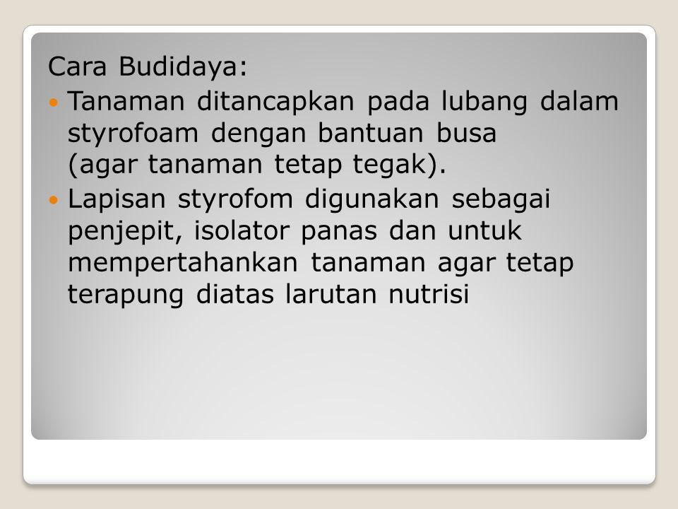 Cara Budidaya: Tanaman ditancapkan pada lubang dalam styrofoam dengan bantuan busa (agar tanaman tetap tegak). Lapisan styrofom digunakan sebagai penj