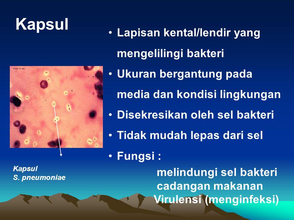 Kapsul Lapisan kental/lendir yang mengelilingi bakteri Ukuran bergantung pada media dan kondisi lingkungan Disekresikan oleh sel bakteri Tidak mudah l