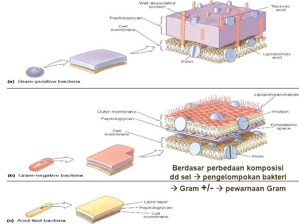 Berdasar perbedaan komposisi dd sel  pengelompokan bakteri  Gram +/-  pewarnaan Gram