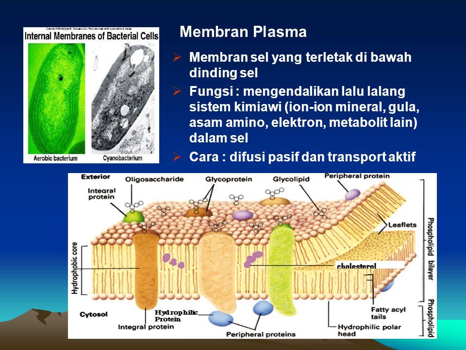  Membran sel yang terletak di bawah dinding sel  Fungsi : mengendalikan lalu lalang sistem kimiawi (ion-ion mineral, gula, asam amino, elektron, met