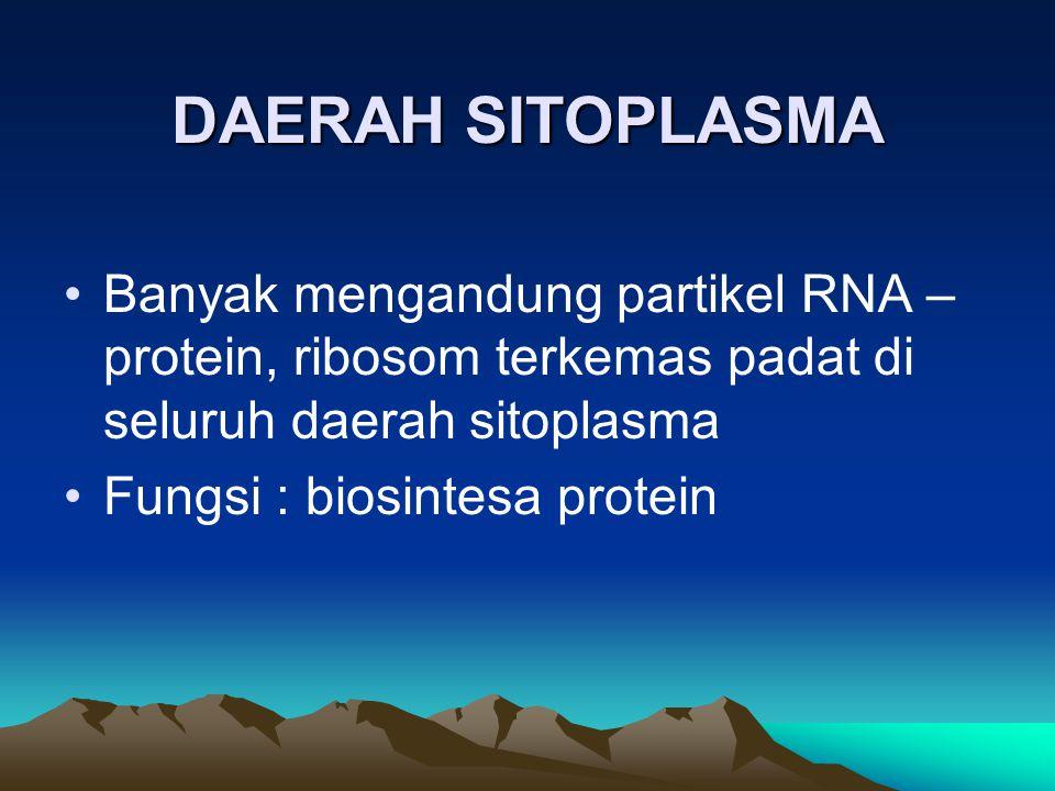 DAERAH SITOPLASMA Banyak mengandung partikel RNA – protein, ribosom terkemas padat di seluruh daerah sitoplasma Fungsi : biosintesa protein