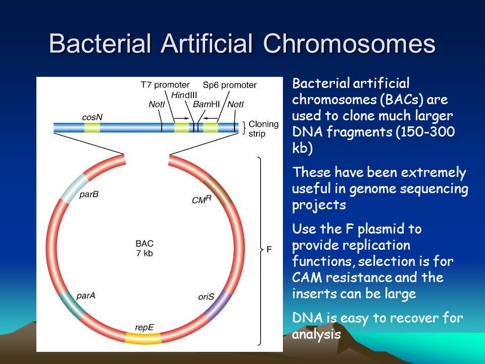 Bacterial artificial chromosomes (BACs) are used to clone much larger DNA fragments (150-300 kb) These have been extremely useful in genome sequencing