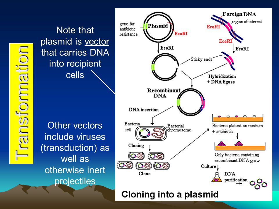 Transformation Note that plasmid is vector that carries DNA into recipient cells Other vectors include viruses (transduction) as well as otherwise ine
