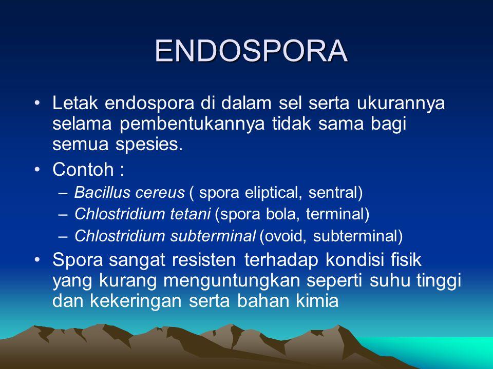 ENDOSPORA Letak endospora di dalam sel serta ukurannya selama pembentukannya tidak sama bagi semua spesies. Contoh : –Bacillus cereus ( spora eliptica