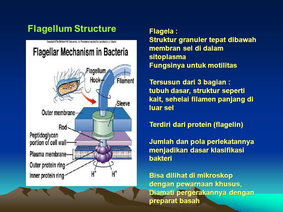 Flagellum Structure Flagela : Struktur granuler tepat dibawah membran sel di dalam sitoplasma Fungsinya untuk motilitas Tersusun dari 3 bagian : tubuh