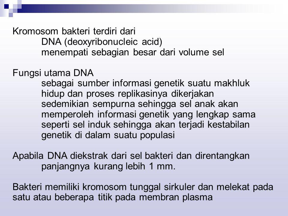 Kromosom bakteri terdiri dari DNA (deoxyribonucleic acid) menempati sebagian besar dari volume sel Fungsi utama DNA sebagai sumber informasi genetik suatu makhluk hidup dan proses replikasinya dikerjakan sedemikian sempurna sehingga sel anak akan memperoleh informasi genetik yang lengkap sama seperti sel induk sehingga akan terjadi kestabilan genetik di dalam suatu populasi Apabila DNA diekstrak dari sel bakteri dan direntangkan panjangnya kurang lebih 1 mm.