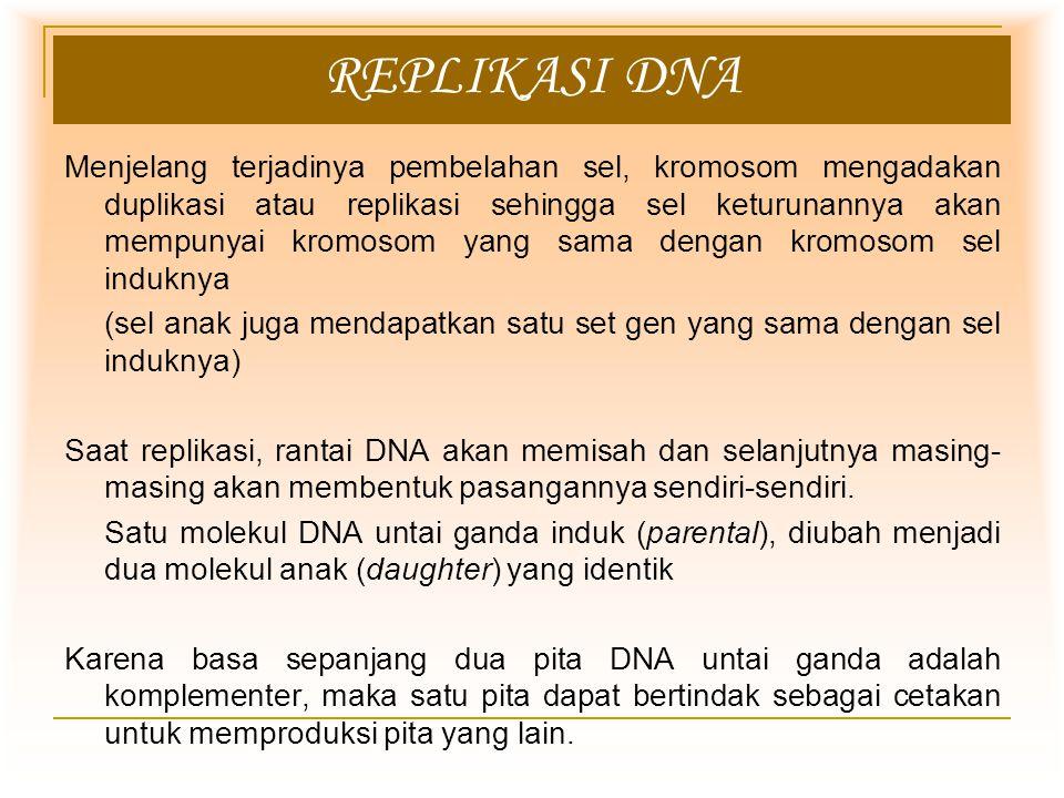 REPLIKASI DNA Menjelang terjadinya pembelahan sel, kromosom mengadakan duplikasi atau replikasi sehingga sel keturunannya akan mempunyai kromosom yang sama dengan kromosom sel induknya (sel anak juga mendapatkan satu set gen yang sama dengan sel induknya) Saat replikasi, rantai DNA akan memisah dan selanjutnya masing- masing akan membentuk pasangannya sendiri-sendiri.