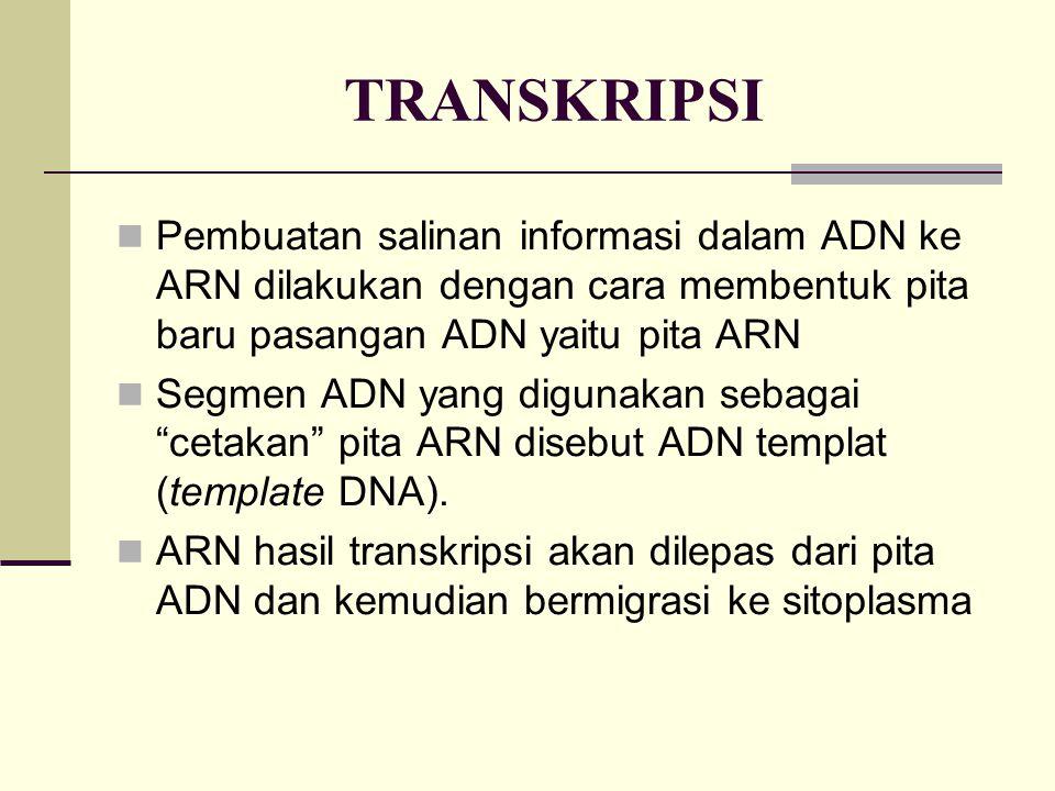 TRANSKRIPSI Pembuatan salinan informasi dalam ADN ke ARN dilakukan dengan cara membentuk pita baru pasangan ADN yaitu pita ARN Segmen ADN yang digunak