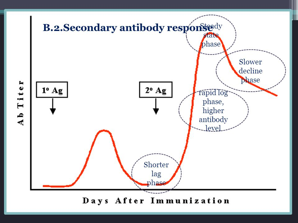 B.2.Secondary antibody response Shorter lag phase rapid log phase, higher antibody level Slower decline phase Steady state phase