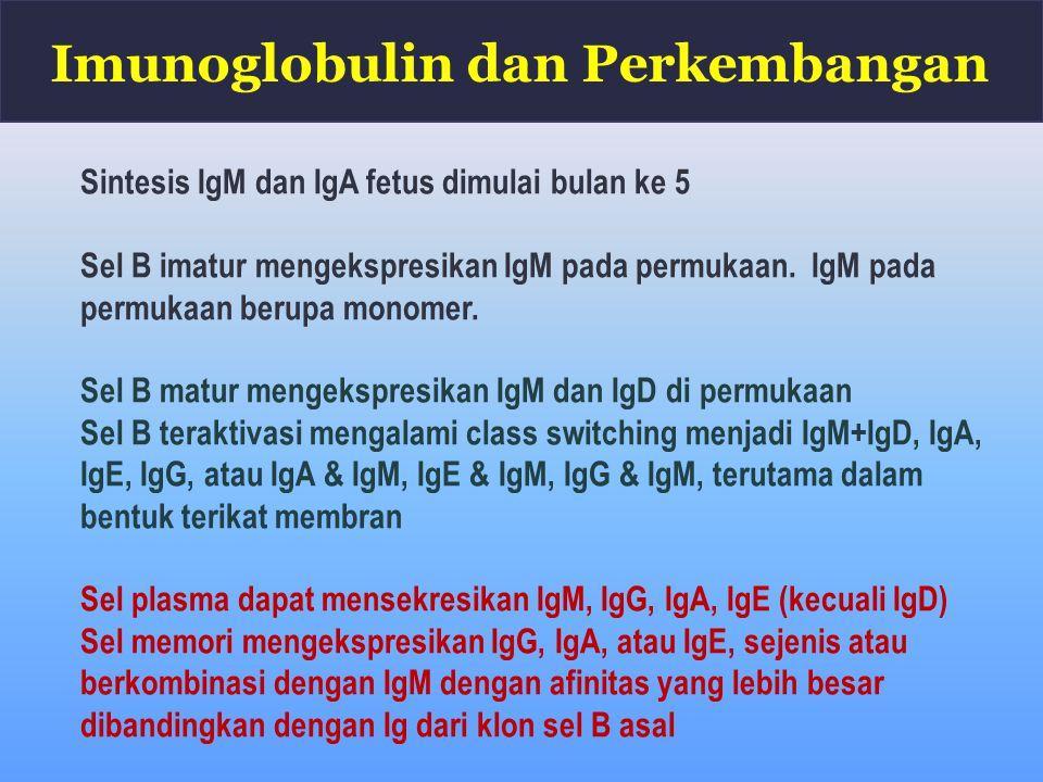 Sintesis IgM dan IgA fetus dimulai bulan ke 5 Sel B imatur mengekspresikan IgM pada permukaan. IgM pada permukaan berupa monomer. Sel B matur mengeksp