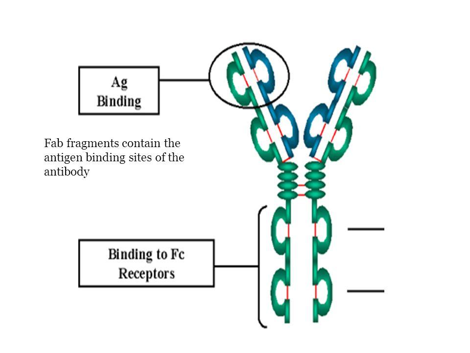 Antigen T-dependent Produksi antibodi terhadapnya memerlukan bantuan Th Terutama adalah antigen berupa protein virus, bakteri, rbc asing dan molekul pembawa hapten (hapten-carrier molecules) Antigen T- independent Produksi antibodi terhadapnya tidak memerlukan bantuan Th Terutama adalah antigen berupa polisakarida atau lipopolisakarida dengan unit penyusun berulang (kapsula bakteri) Respons lebih lemah dibanding respons terhadap antigen T-dependent