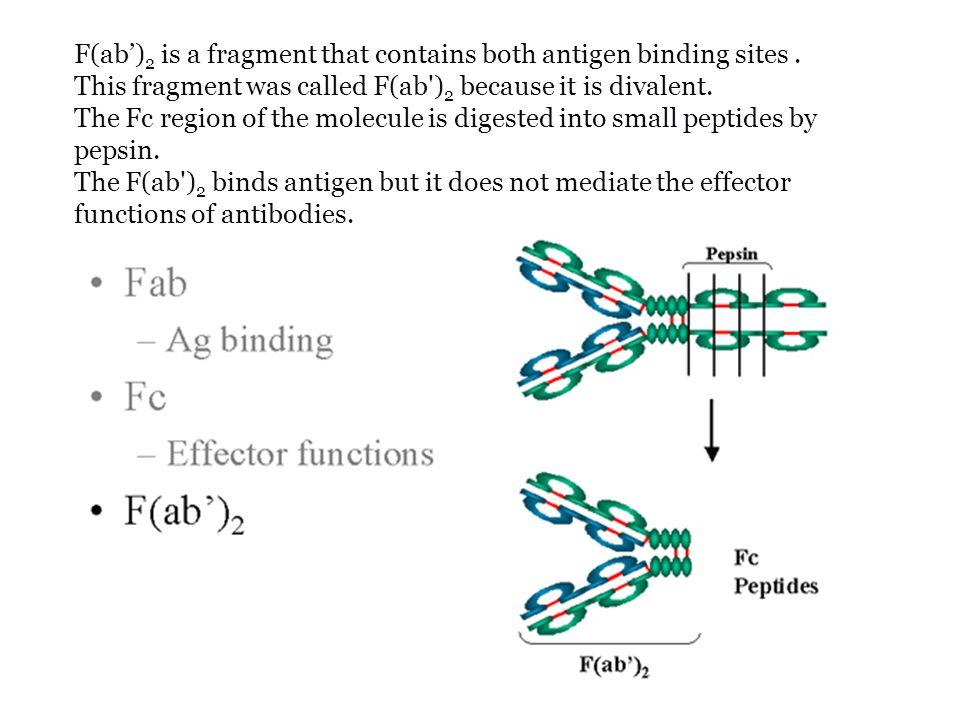 ANTIBODI/IMUNOGLOBULIN soluble disekresikan Terikat membran saat maturasi di bone marrow/ bursa fabricius meningkat seiring diferensiasi menjadi sel plasma di jaringan limfoid sekunder