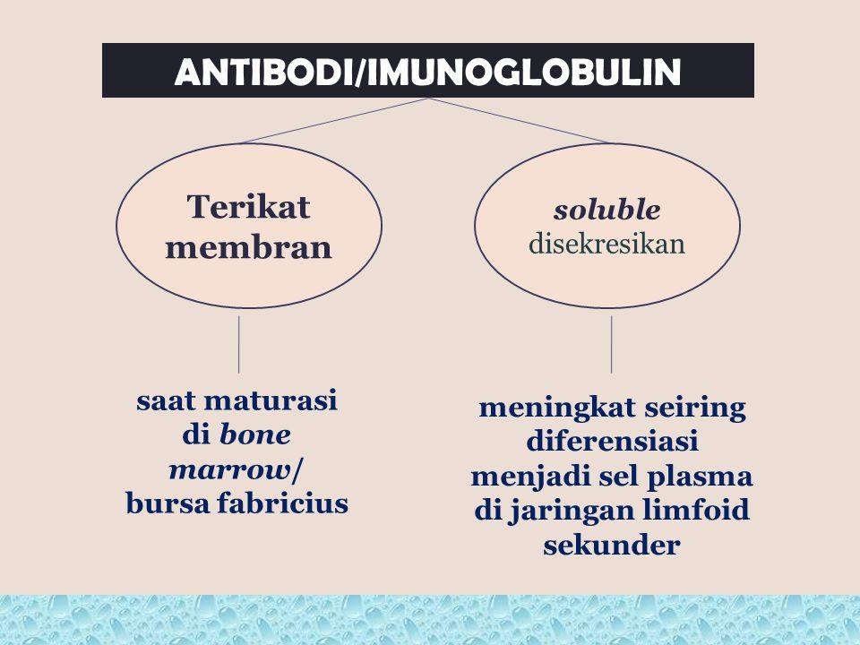 ANTIBODI/IMUNOGLOBULIN soluble disekresikan Terikat membran saat maturasi di bone marrow/ bursa fabricius meningkat seiring diferensiasi menjadi sel p