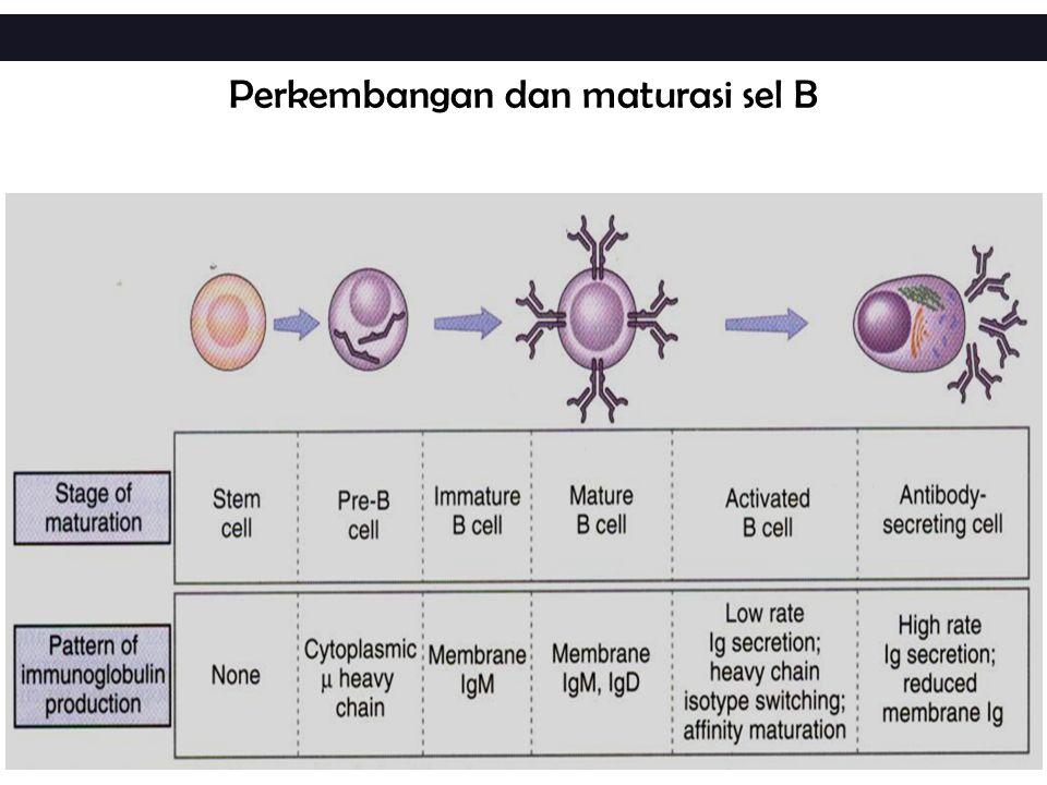 Mutasi somatik terjadi setelah class switching sedemikian rupa sehingga mengubah afinitas antibodi menjadi lebih tinggi  Mekanisme ???.