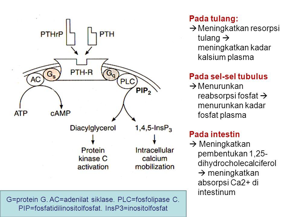G=protein G. AC=adenilat siklase. PLC=fosfolipase C. PIP=fosfatidilinositolfosfat. InsP3=inositolfosfat Pada tulang:  Meningkatkan resorpsi tulang 