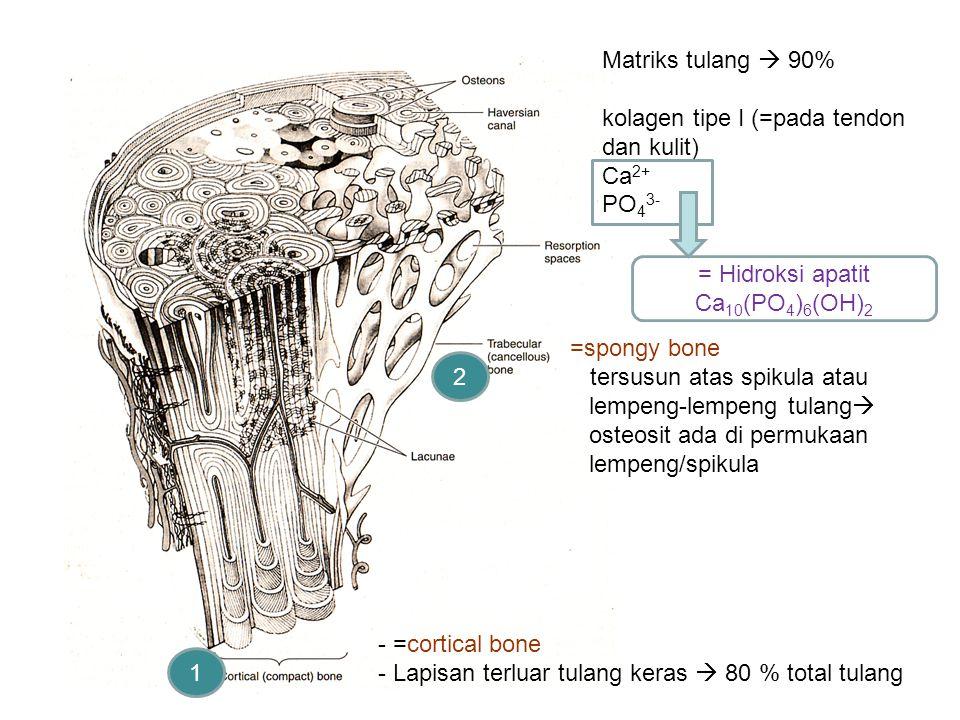 - =cortical bone - Lapisan terluar tulang keras  80 % total tulang 1 2 =spongy bone tersusun atas spikula atau lempeng-lempeng tulang  osteosit ada