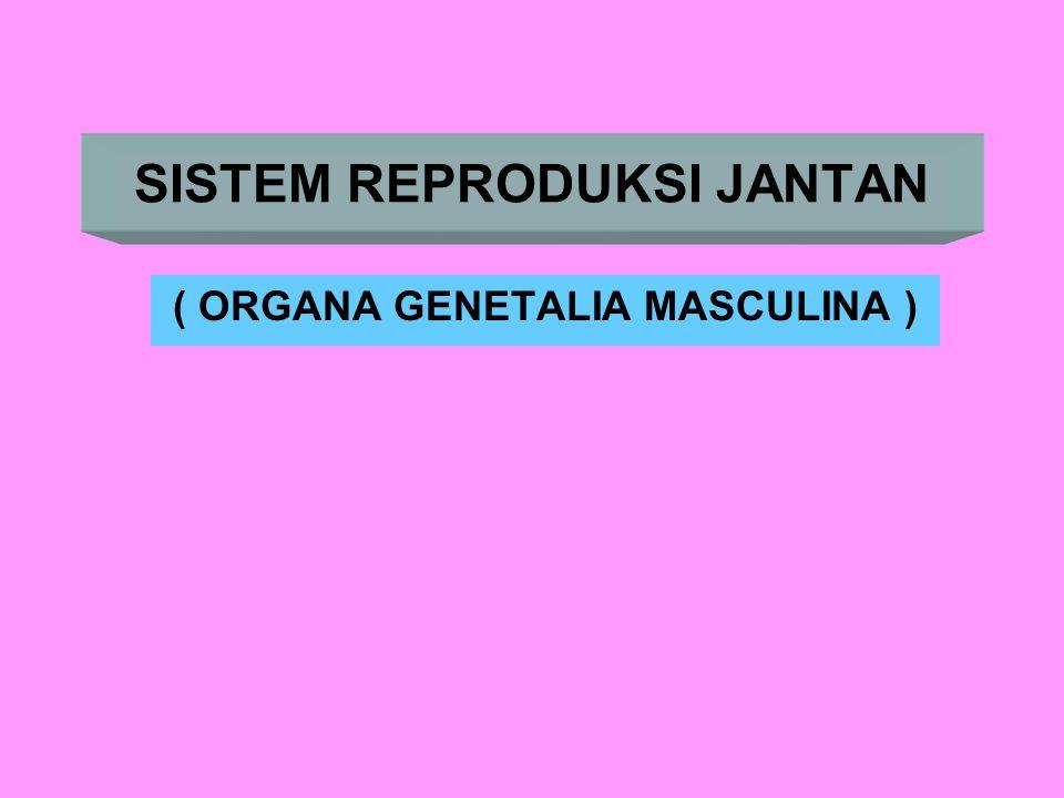 ORGANA GENETALIA MASCULINA Alat kelamin primer : Testis Alat kelamin sekunder ♣ Saluran : Epidedimis - Vasa Defferensia / Ductus Ejaculatorius - Urethra ♣ Kelenjar - Vesicula seminalis (Vesiculosa) - Prostata - Cowper's (Bulbo Urethralis) - Littre