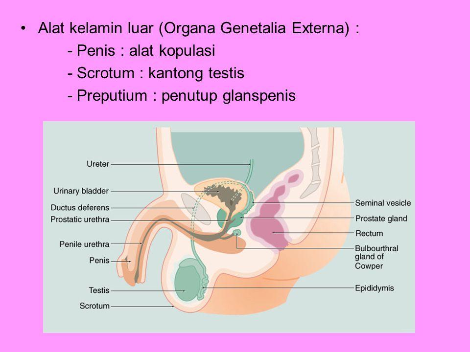 KELENJAR – KELENJAR ASSESORI Fungsi : menghasilkan medium sperma (cairan / plasma sperma) Terdiri dari : 1.