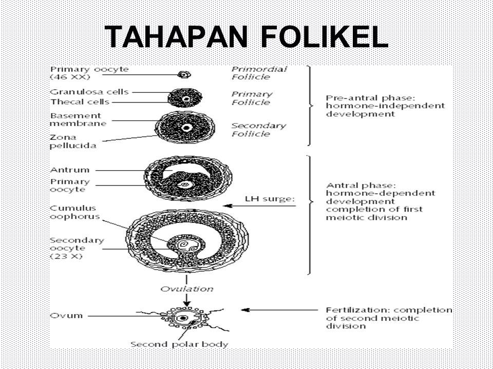 TAHAPAN FOLIKEL