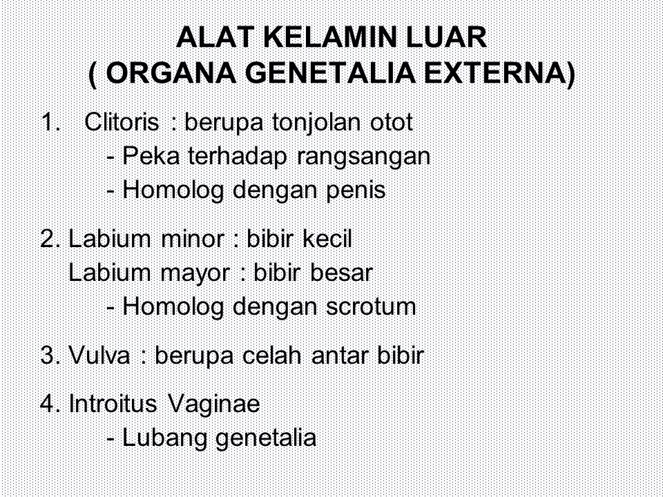 ALAT KELAMIN LUAR ( ORGANA GENETALIA EXTERNA) 1.Clitoris : berupa tonjolan otot - Peka terhadap rangsangan - Homolog dengan penis 2. Labium minor : bi