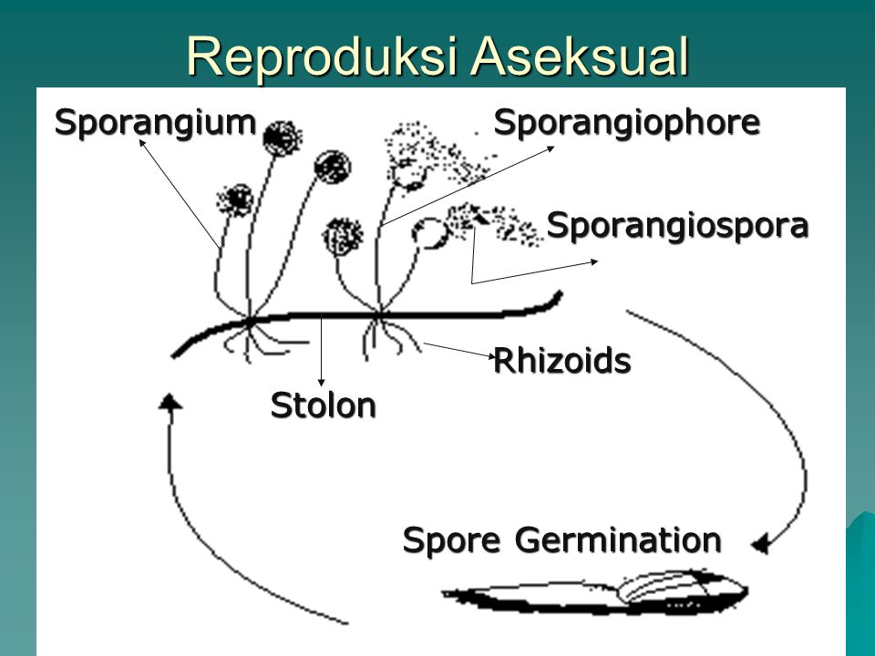 Reproduksi Aseksual Sporangium Sporangiophore Sporangiospora Rhizoids Stolon Spore Germination