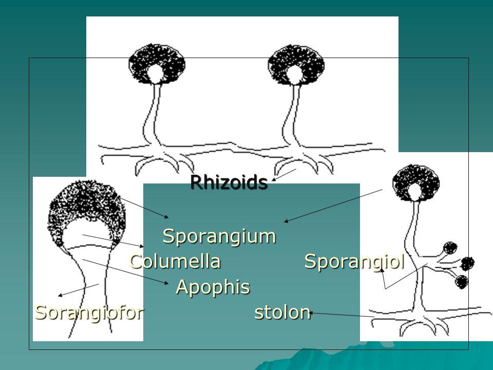 Rhizoids Sporangium Columella Sporangiol Apophis Sorangiofor stolon