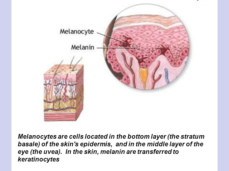 Melanocytes are cells located in the bottom layer (the stratum basale) of the skin's epidermis, and in the middle layer of the eye (the uvea). In the