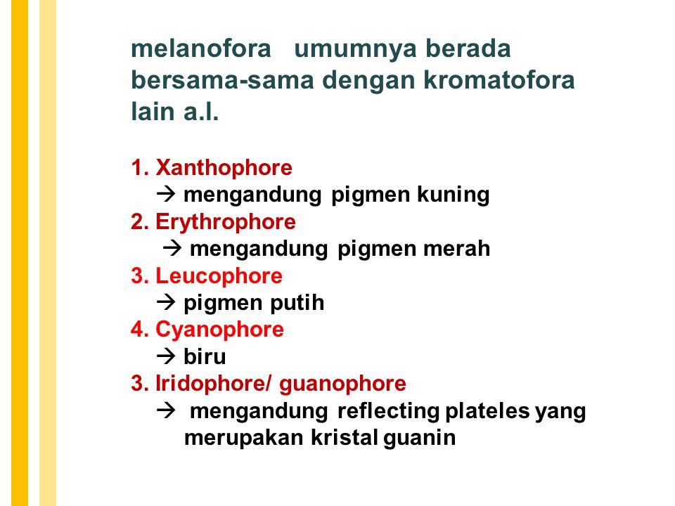 melanofora umumnya berada bersama-sama dengan kromatofora lain a.l.