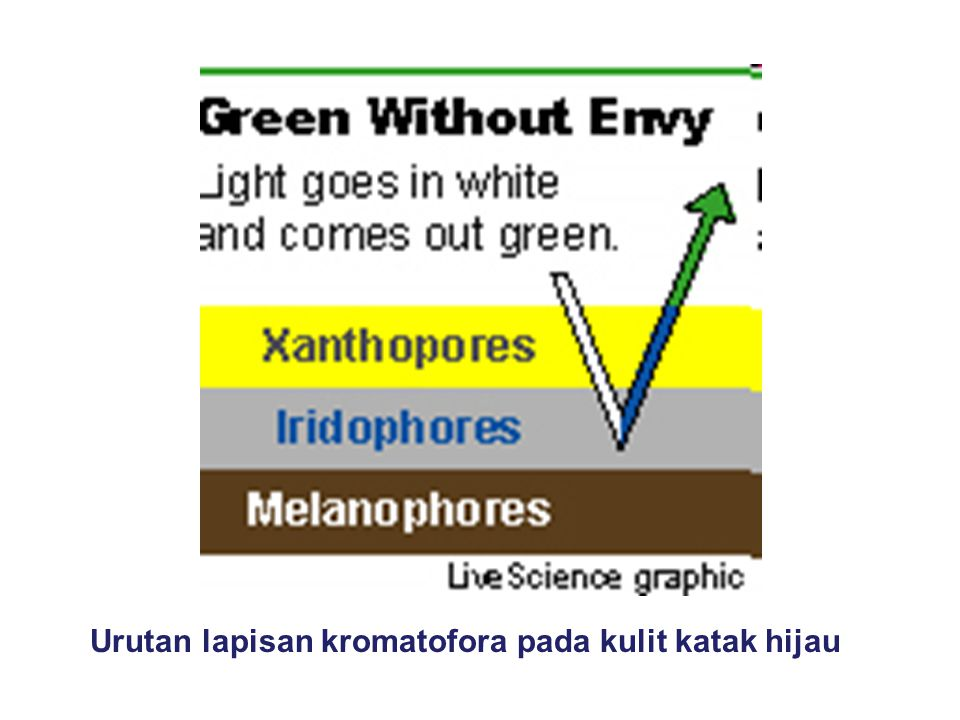 Urutan lapisan kromatofora pada kulit katak hijau