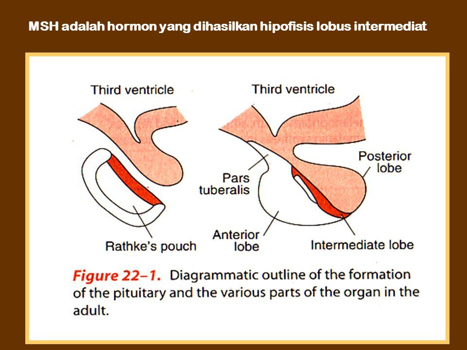 MSH adalah hormon yang dihasilkan hipofisis lobus intermediat