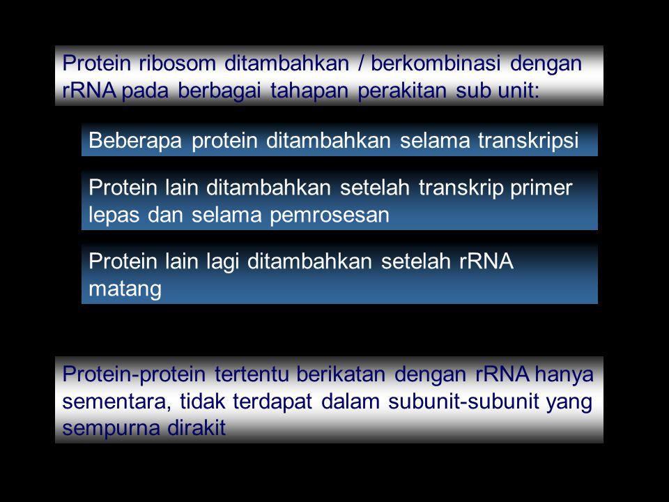 Protein ribosom ditambahkan / berkombinasi dengan rRNA pada berbagai tahapan perakitan sub unit: Beberapa protein ditambahkan selama transkripsi Prote