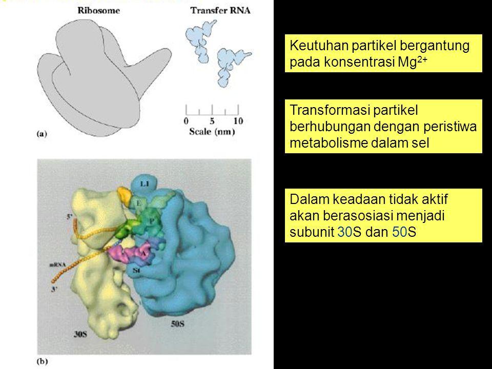 Keutuhan partikel bergantung pada konsentrasi Mg 2+ Transformasi partikel berhubungan dengan peristiwa metabolisme dalam sel Dalam keadaan tidak aktif