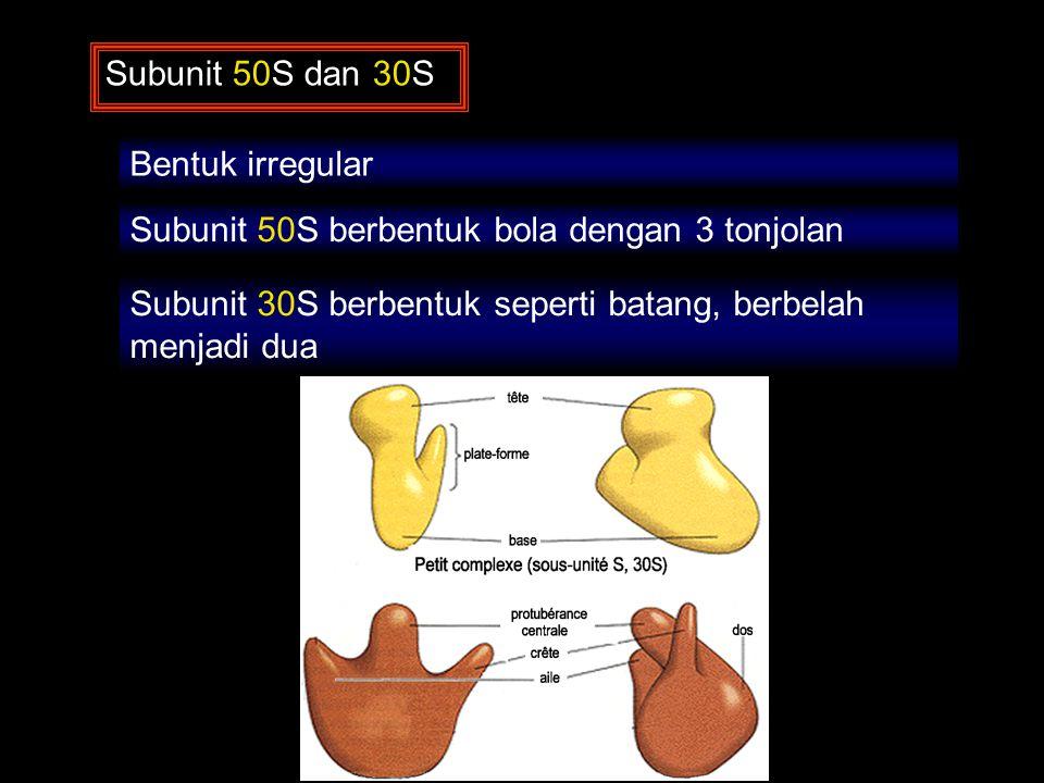 Subunit 50S dan 30S Bentuk irregular Subunit 50S berbentuk bola dengan 3 tonjolan Subunit 30S berbentuk seperti batang, berbelah menjadi dua