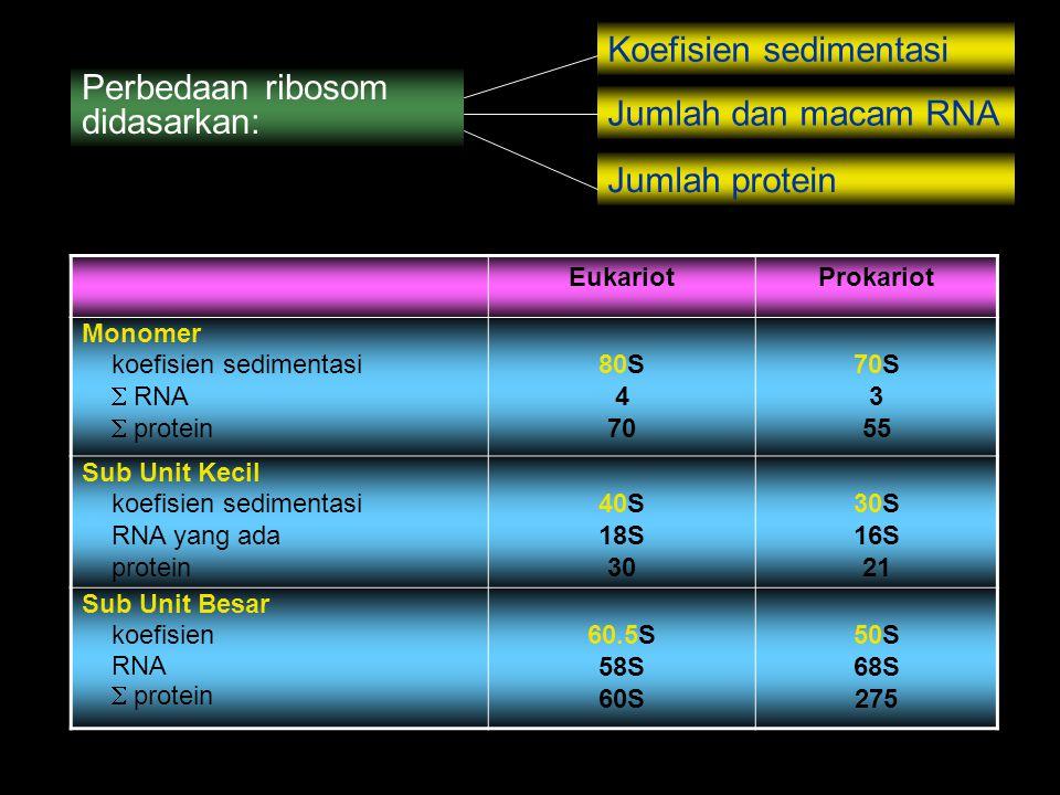 Perbedaan ribosom didasarkan: Koefisien sedimentasi Jumlah dan macam RNA Jumlah protein EukariotProkariot Monomer koefisien sedimentasi  RNA  protei
