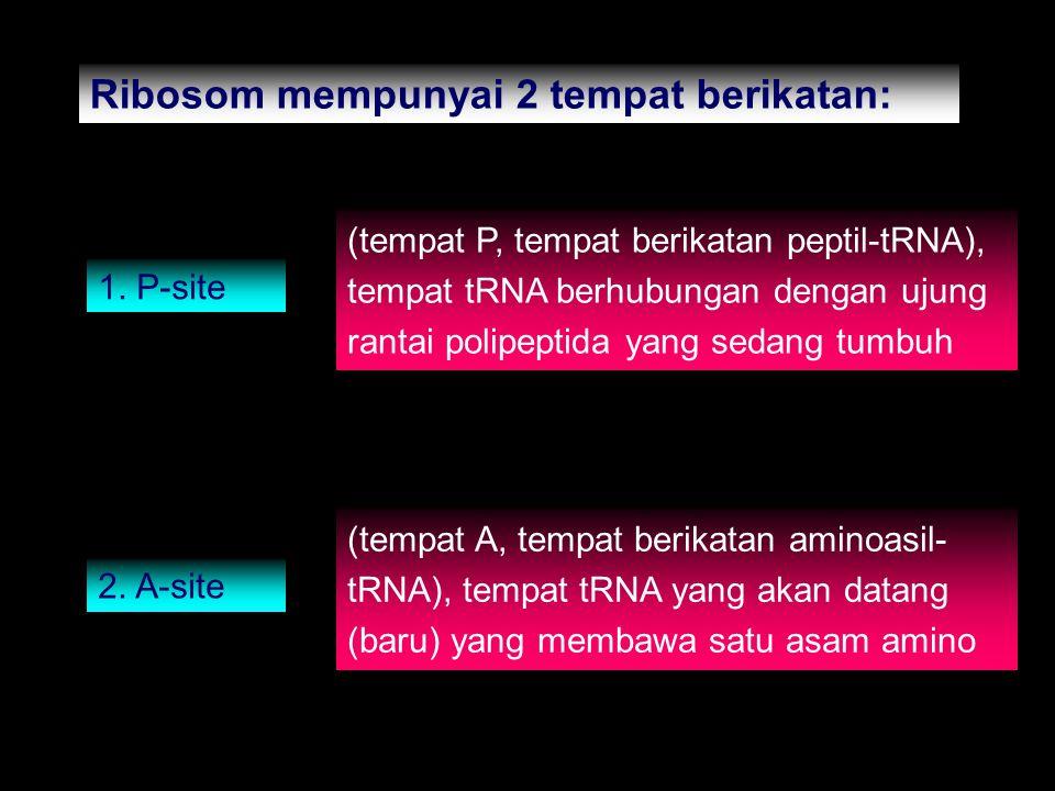Ribosom mempunyai 2 tempat berikatan: 1. P-site (tempat P, tempat berikatan peptil-tRNA), tempat tRNA berhubungan dengan ujung rantai polipeptida yang