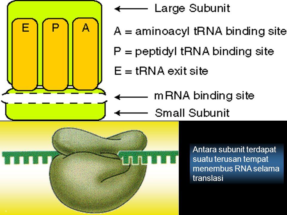 Antara subunit terdapat suatu terusan tempat menembus RNA selama translasi
