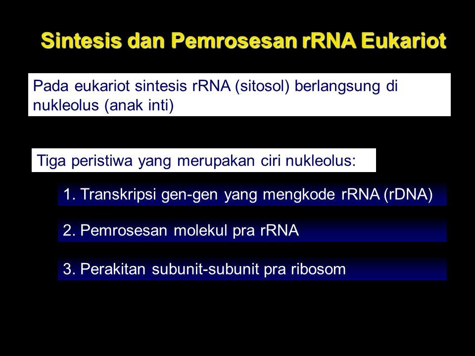 Sintesis dan Pemrosesan rRNA Eukariot Pada eukariot sintesis rRNA (sitosol) berlangsung di nukleolus (anak inti) Tiga peristiwa yang merupakan ciri nu