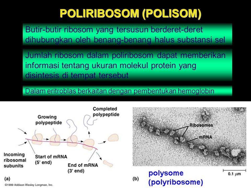 POLIRIBOSOM (POLISOM) Butir-butir ribosom yang tersusun berderet-deret dihubungkan oleh benang-benang halus substansi sel Jumlah ribosom dalam polirib