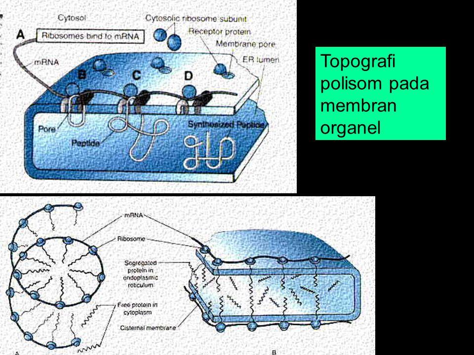 Topografi polisom pada membran organel