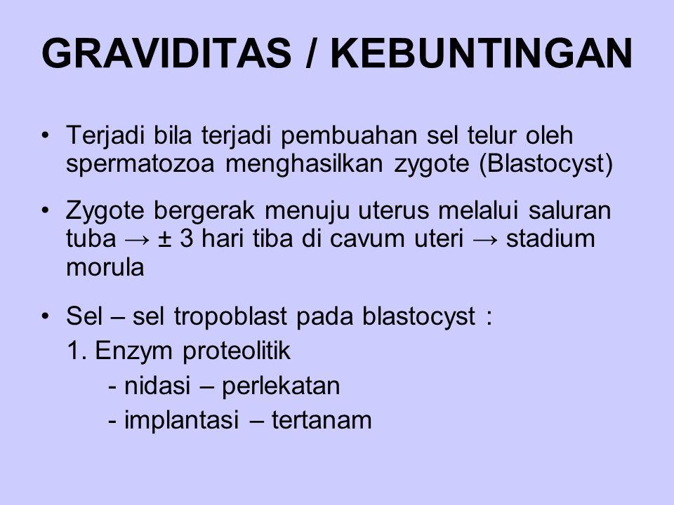 GRAVIDITAS / KEBUNTINGAN Terjadi bila terjadi pembuahan sel telur oleh spermatozoa menghasilkan zygote (Blastocyst) Zygote bergerak menuju uterus mela