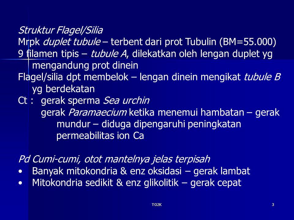 TO2K3 Struktur Flagel/Silia Mrpk duplet tubule – terbent dari prot Tubulin (BM=55.000) 9 filamen tipis – tubule A, dilekatkan oleh lengan duplet yg mengandung prot dinein Flagel/silia dpt membelok – lengan dinein mengikat tubule B yg berdekatan Ct : gerak sperma Sea urchin gerak Paramaecium ketika menemui hambatan – gerak mundur – diduga dipengaruhi peningkatan permeabilitas ion Ca Pd Cumi-cumi, otot mantelnya jelas terpisah Banyak mitokondria & enz oksidasi – gerak lambat Mitokondria sedikit & enz glikolitik – gerak cepat