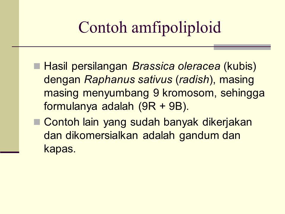 Contoh amfipoliploid Hasil persilangan Brassica oleracea (kubis) dengan Raphanus sativus (radish), masing masing menyumbang 9 kromosom, sehingga formu