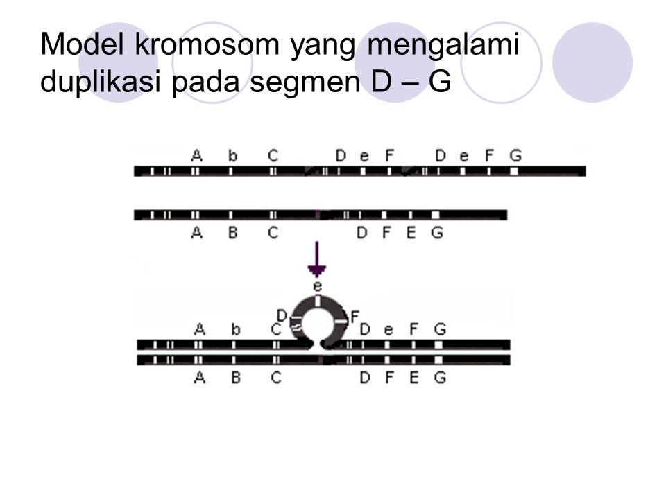 Model kromosom yang mengalami duplikasi pada segmen D – G