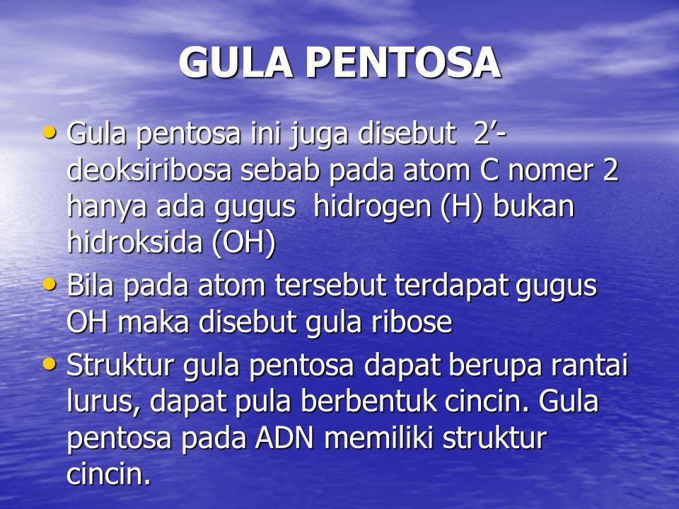 GULA PENTOSA Gula pentosa ini juga disebut 2'- deoksiribosa sebab pada atom C nomer 2 hanya ada gugus hidrogen (H) bukan hidroksida (OH) Gula pentosa