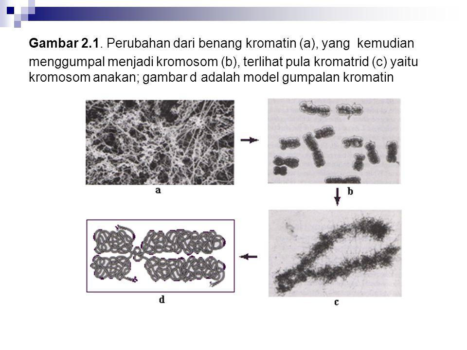 Gambar 2.1. Perubahan dari benang kromatin (a), yang kemudian menggumpal menjadi kromosom (b), terlihat pula kromatrid (c) yaitu kromosom anakan; gamb