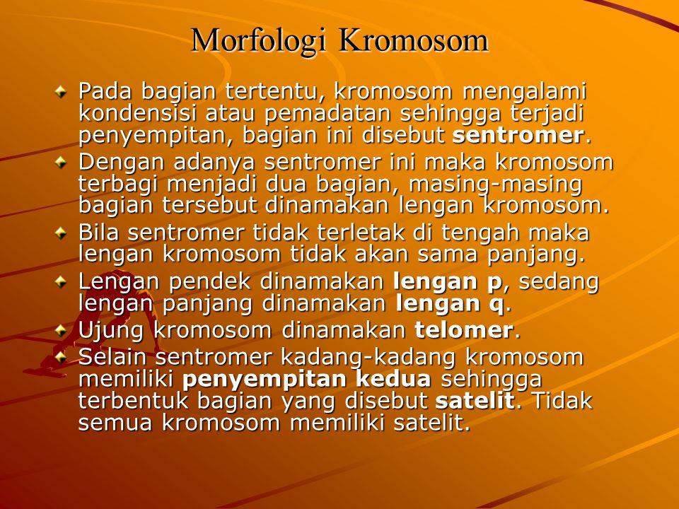 Morfologi Kromosom Pada bagian tertentu, kromosom mengalami kondensisi atau pemadatan sehingga terjadi penyempitan, bagian ini disebut sentromer. Deng