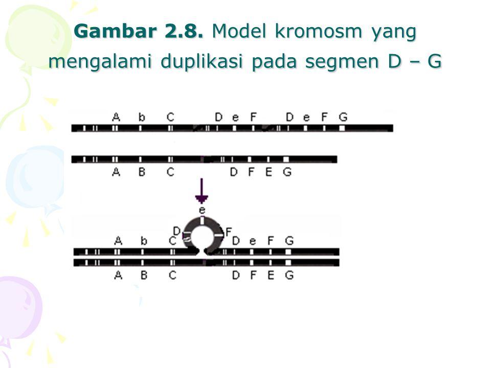 Gambar 2.8. Model kromosm yang mengalami duplikasi pada segmen D – G
