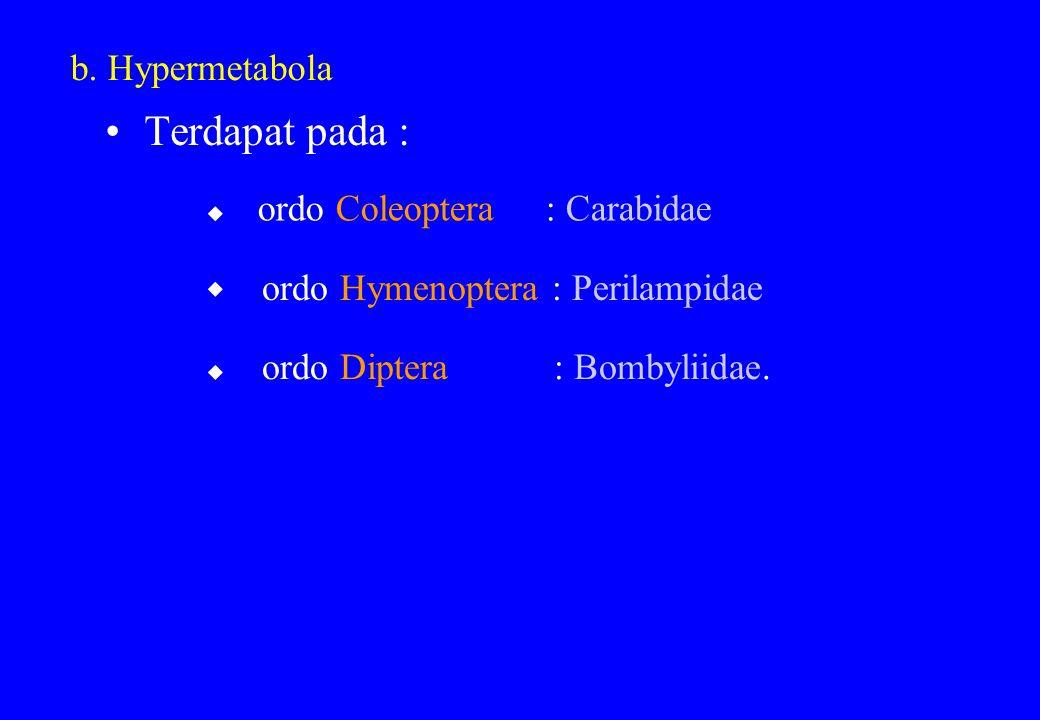 b. Hypermetabola Terdapat pada : ordo Coleoptera : Carabidae ordo Hymenoptera : Perilampidae ordo Diptera : Bombyliidae.   